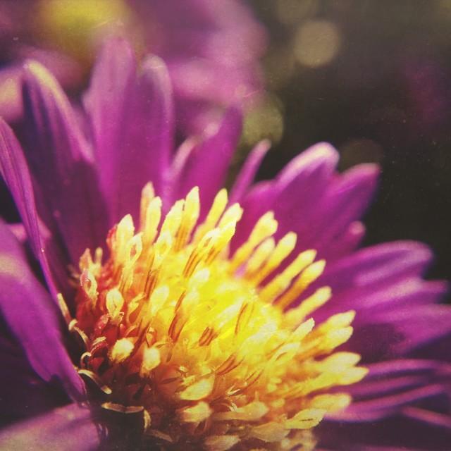 """Michaelmas daisy flower"" stock image"