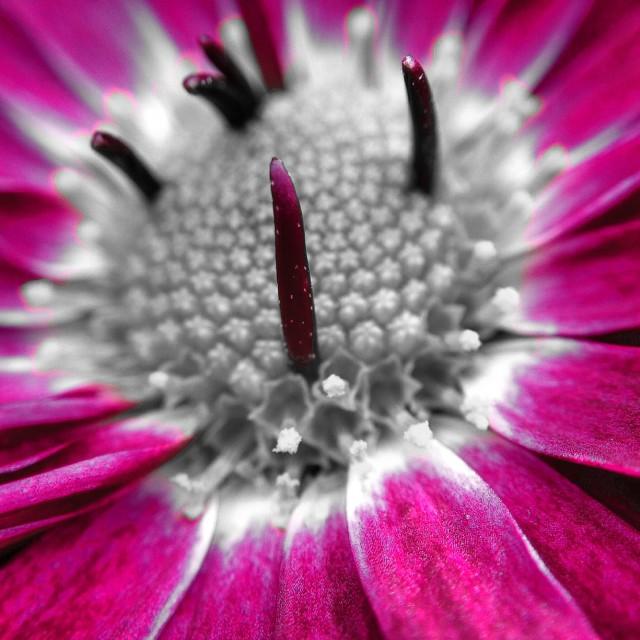 """Colour popped Chrysanthemum"" stock image"