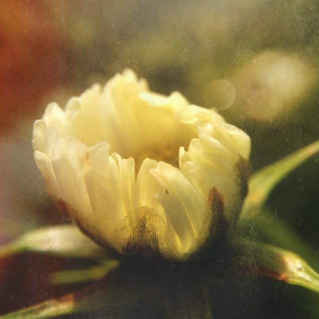 """Flower bud"" stock image"