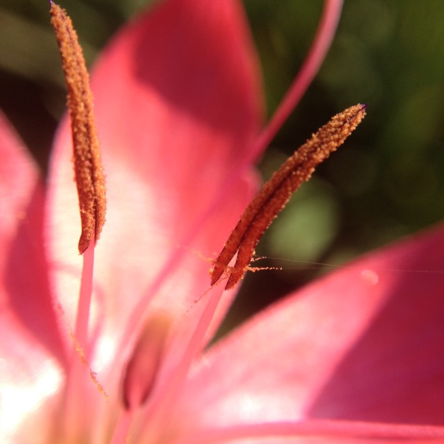 """""""Pollen on lily stamen"""" stock image"""