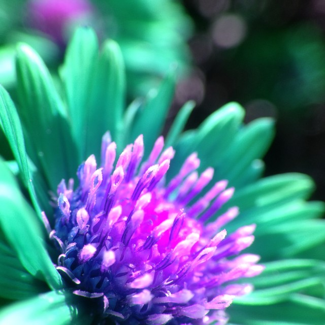 """""""Michaelmas daisy with colour changed"""" stock image"""
