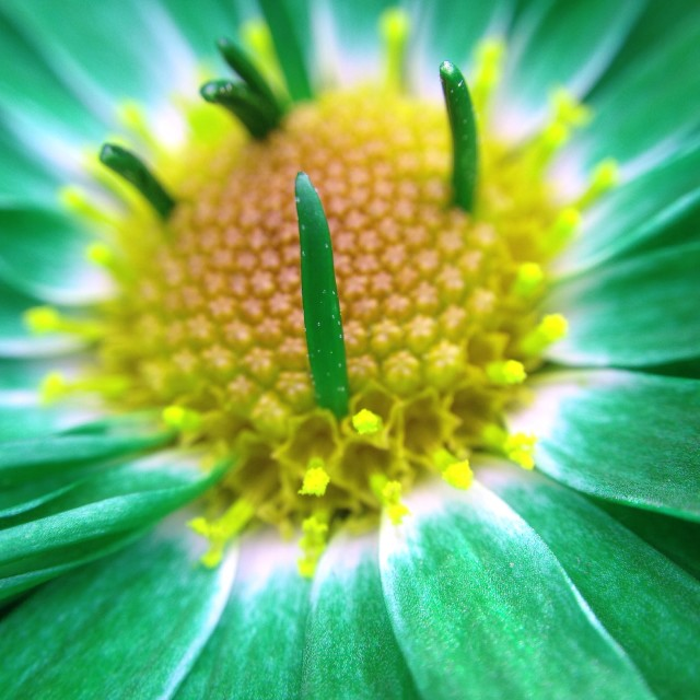 """""""Chrysanthemum with colour changed"""" stock image"""