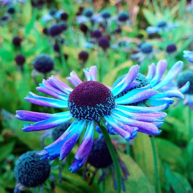 """Rudbeckia flowers"" stock image"