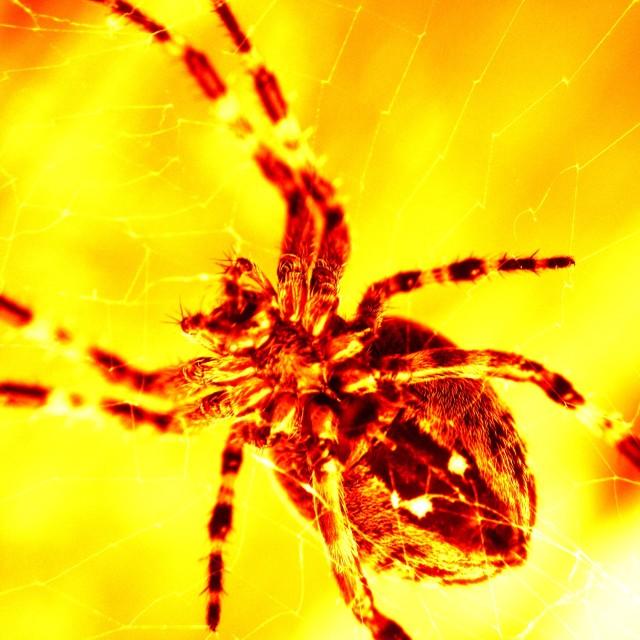 """""""Garden spider"""" stock image"""