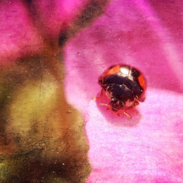 """""""Close up of ladybird"""" stock image"""