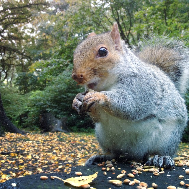 """""""Squirrel in the woods"""" stock image"""