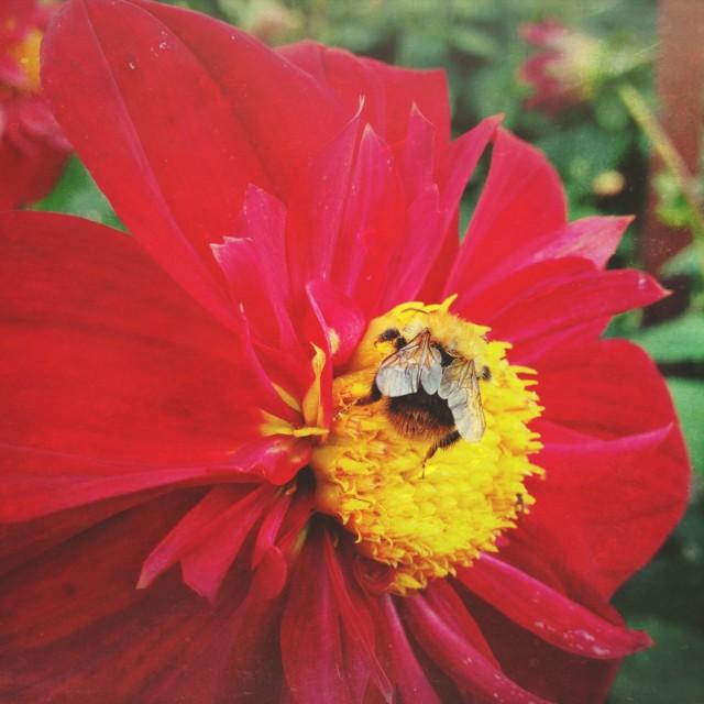 """Bee pollinating a dahlia"" stock image"