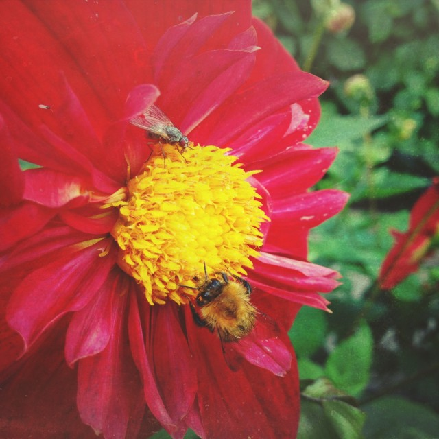 """""""Insects pollinating a dahlia"""" stock image"""
