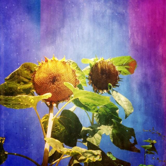 """Sunflowers against blue sky"" stock image"