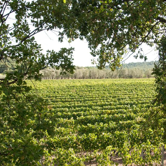 """A vineyard in Tuscany Italy"" stock image"