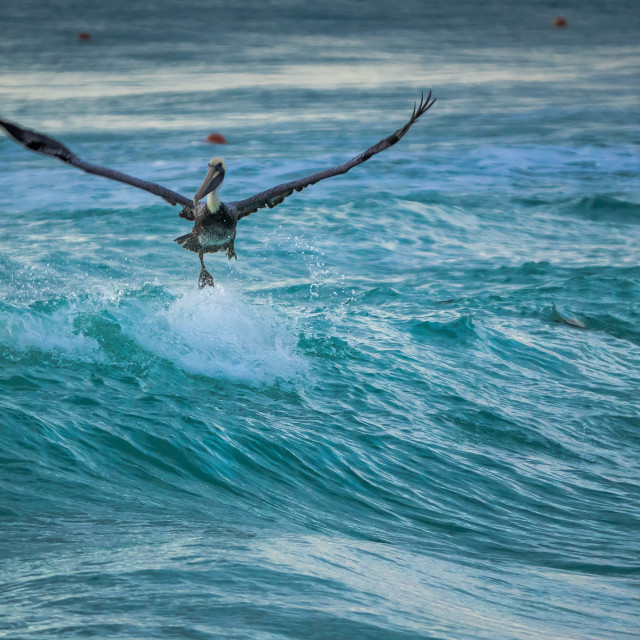 """Pelican surfer"" stock image"