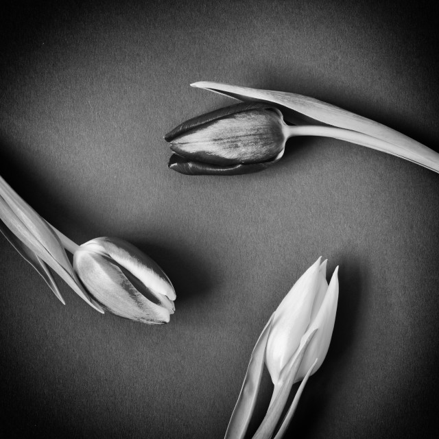 """Three Tulips circular - monochrome"" stock image"