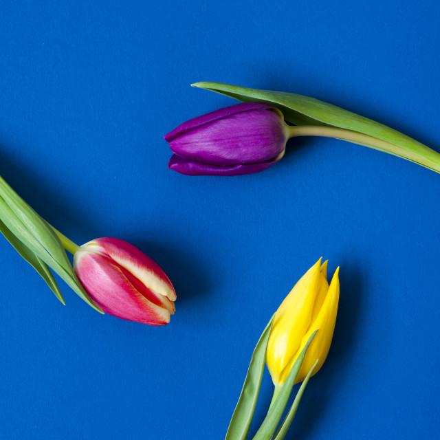 """Three Tulips circular - colour"" stock image"