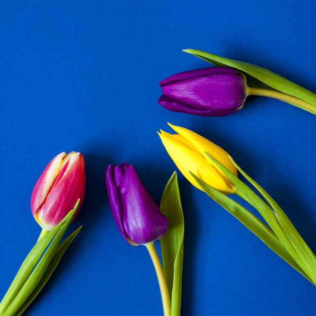 """Four Tulips - Vibrant colour - square"" stock image"