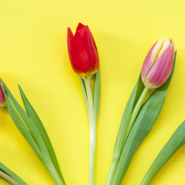 """""""Five colourful Tulips."""" stock image"""