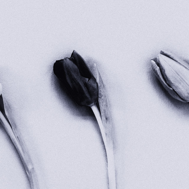 """Three Tulips mono on a textured background"" stock image"