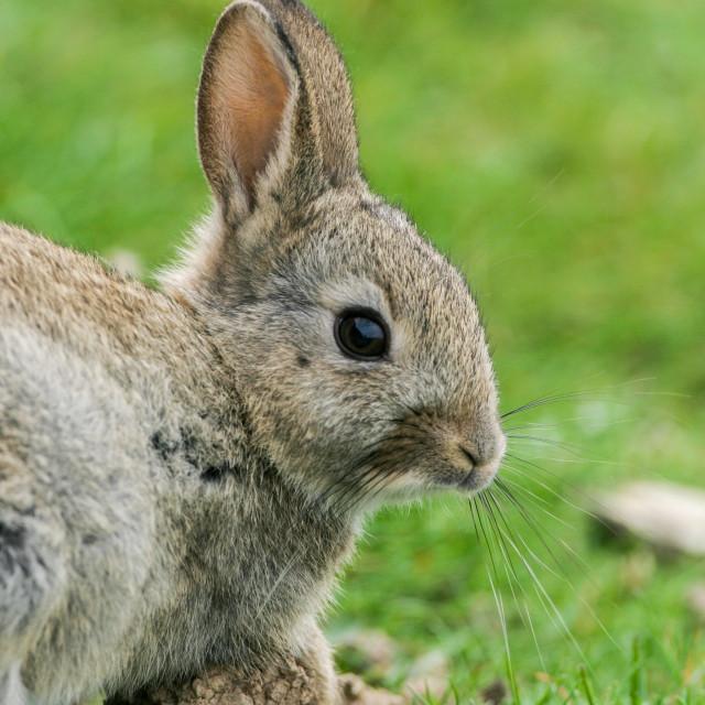 """""""Rabbit"""" stock image"""