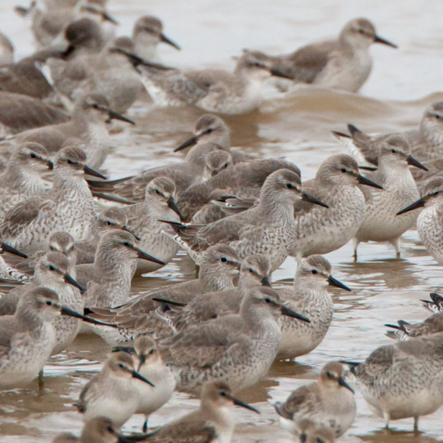 """""""Flock of Knot"""" stock image"""