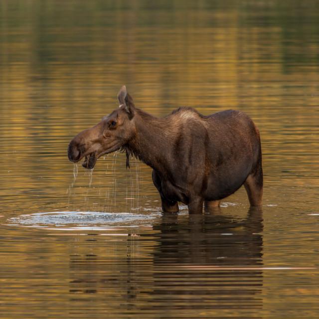 """Grazing Moose"" stock image"