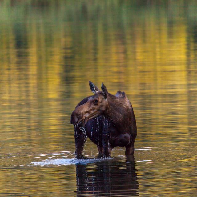 """Moose on Alert"" stock image"