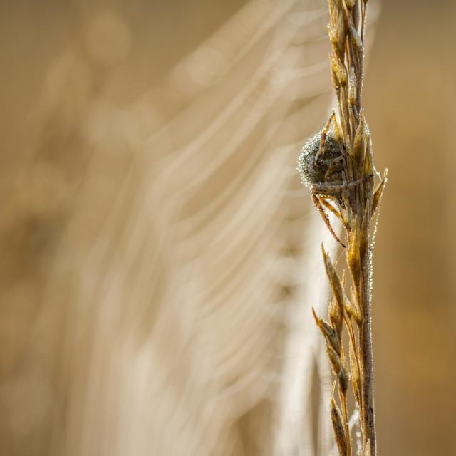 """""""Dew drop spider"""" stock image"""