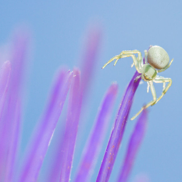 """Crab Spider (Misumena vatia) spiderling"" stock image"