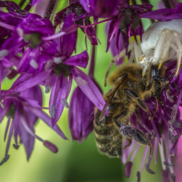 """Crab spider with honey bee prey"" stock image"