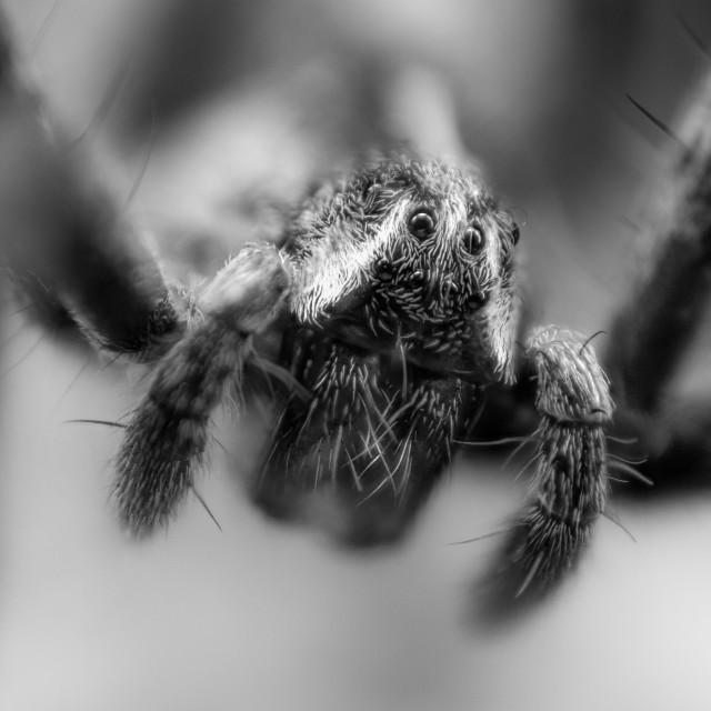 """Pisaura mirabilis - Black & White"" stock image"