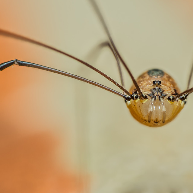 """Leiobunum sp. harvestman"" stock image"