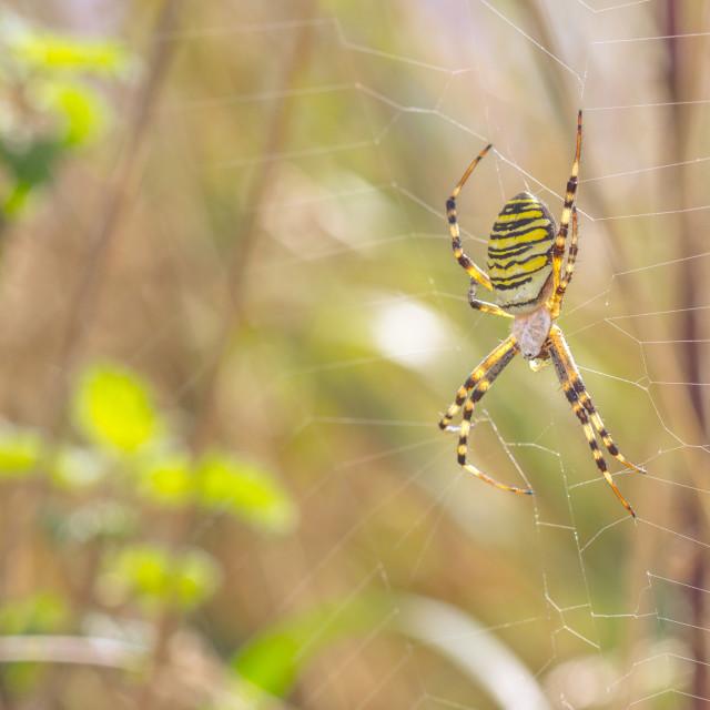 """""""Wasp Spider (Argiope bruennichi)"""" stock image"""