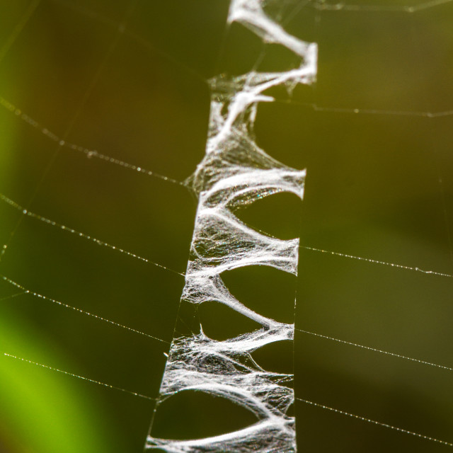 """Stabilimentum on a Wasp Spider web."" stock image"