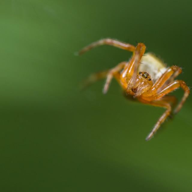 """Araneus diadematus juvenile"" stock image"