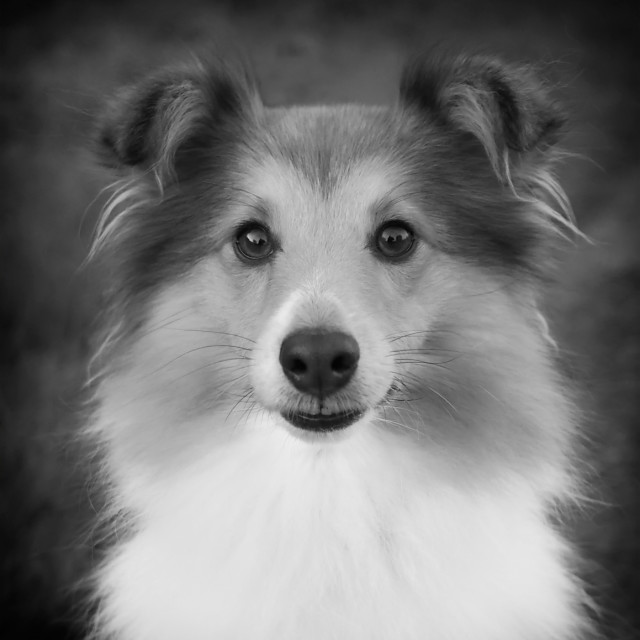 """Sheltie"" stock image"