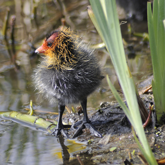 """""""A fledgeling coot"""" stock image"""