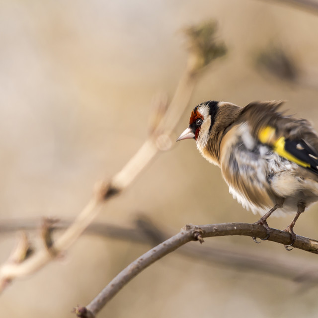 """""""shivering Goldfinch"""" stock image"""