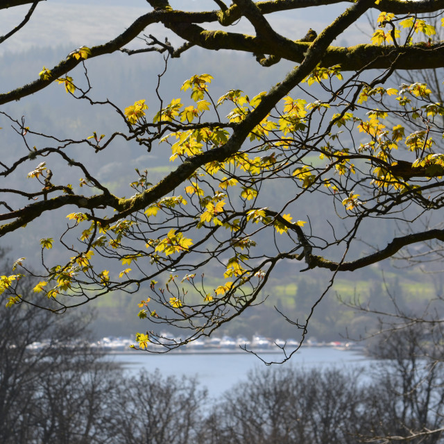 """Trees at Loch Lomond 0385"" stock image"