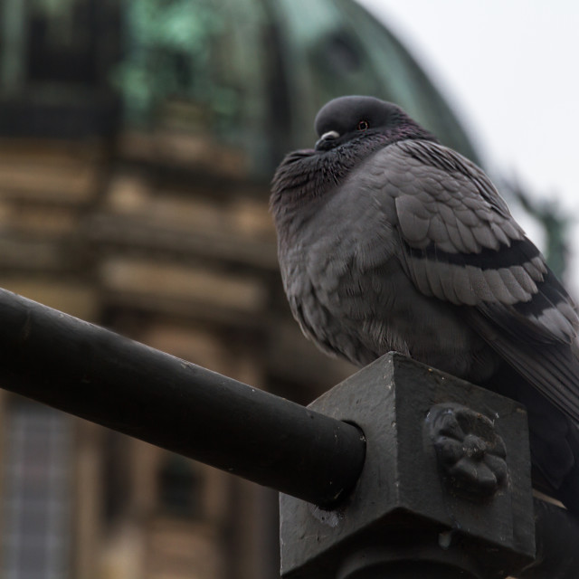 """Dove In Front Of The Berliner Dom"" stock image"