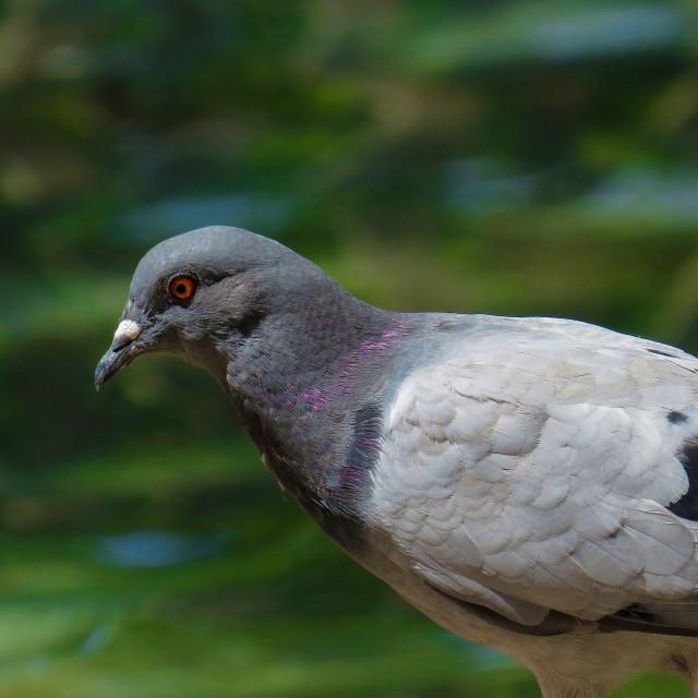 """Pigeon"" stock image"