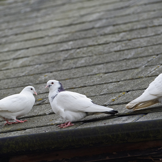 """""""White Doves on a Roof"""" stock image"""