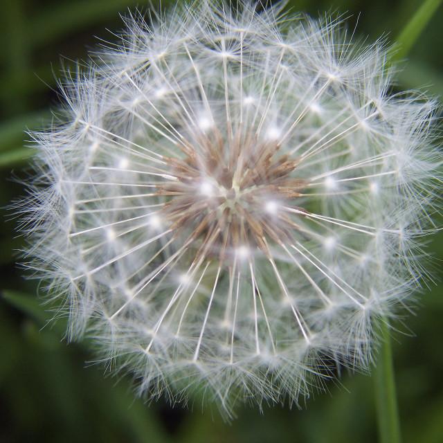 """Delicate Dandelion"" stock image"