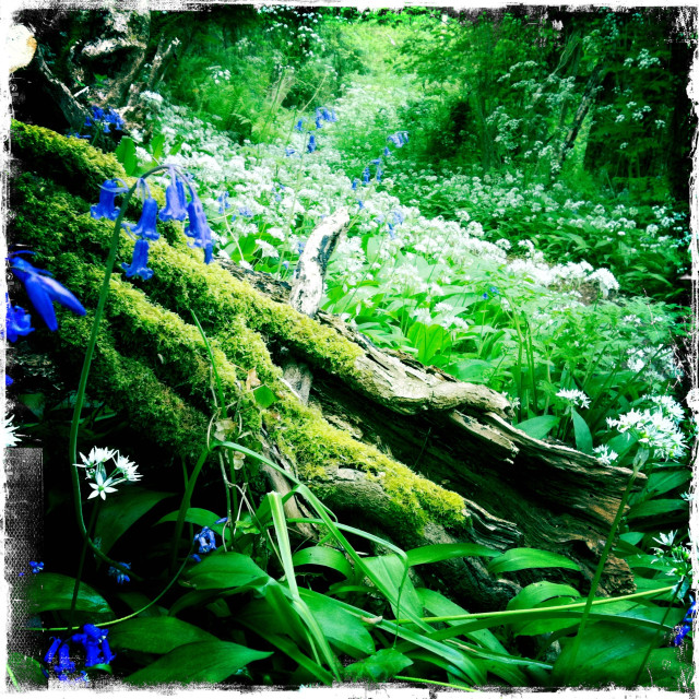 """Woodland Bluebell"" stock image"
