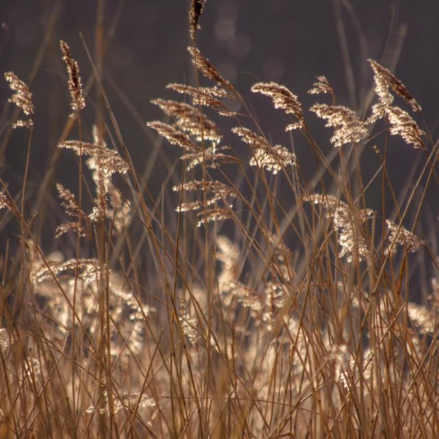 """Sunlit Reeds Closer"" stock image"