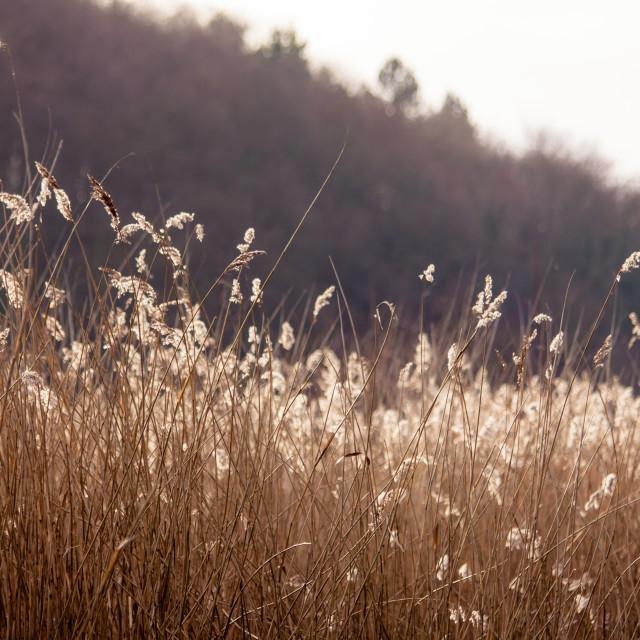 """Sunlit Reeds"" stock image"
