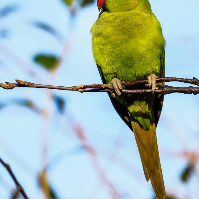 """""""Parakeet musing"""" stock image"""