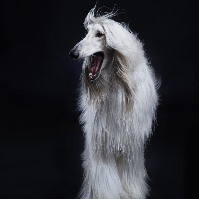 """""""Afghan hound dog"""" stock image"""