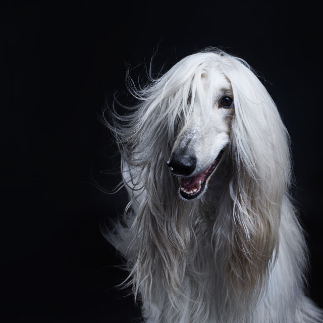 """White Afghan hound dog"" stock image"