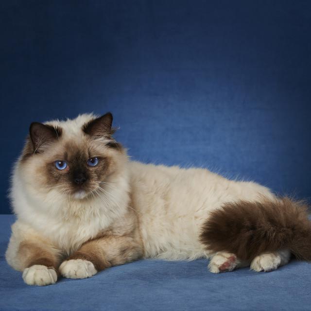 """Ragdoll cat"" stock image"