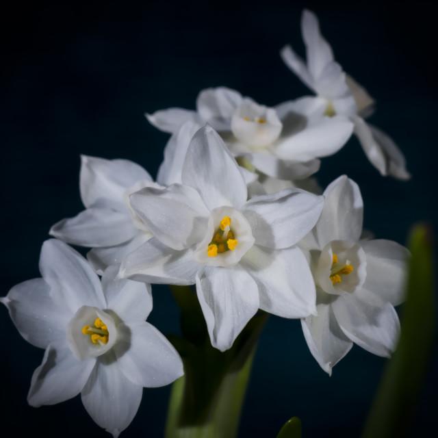 """Narcisi"" stock image"
