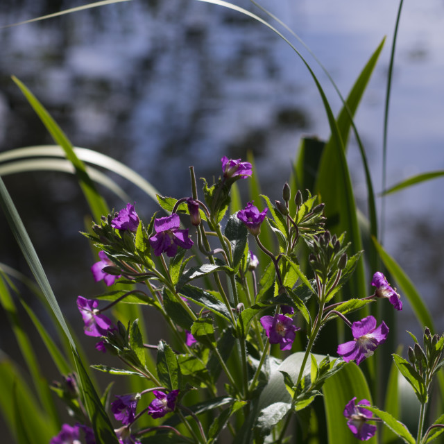 """Sweet Violet"" stock image"