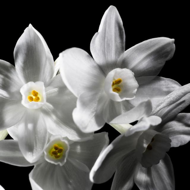 """Narcisi Glow"" stock image"